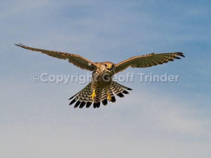 Falcons Kestrels