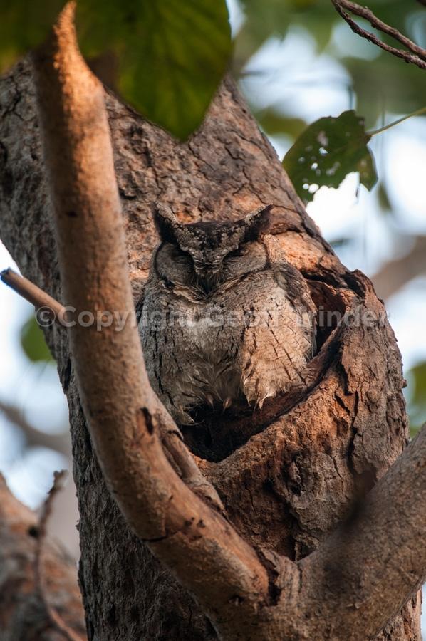 Collard Scops Owl