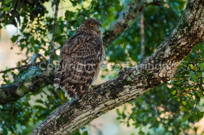 Brown Fish Owl