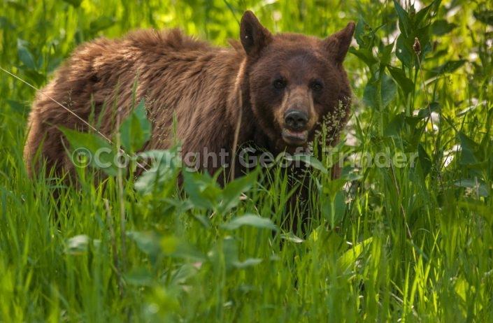 Black Bear (Cinnamon Form)