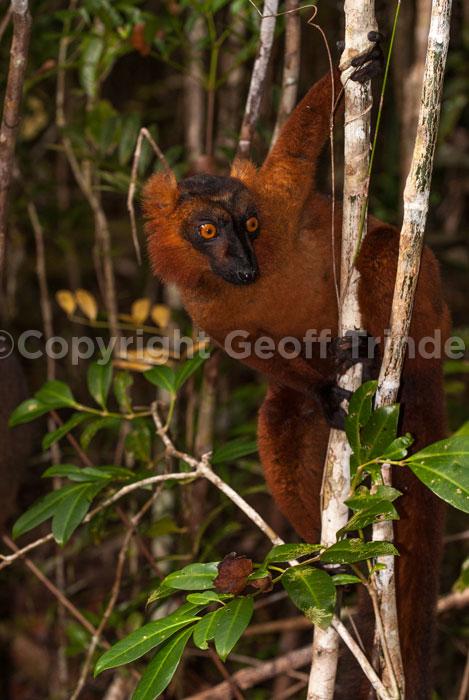Brown Lemur Cross Black Lemur