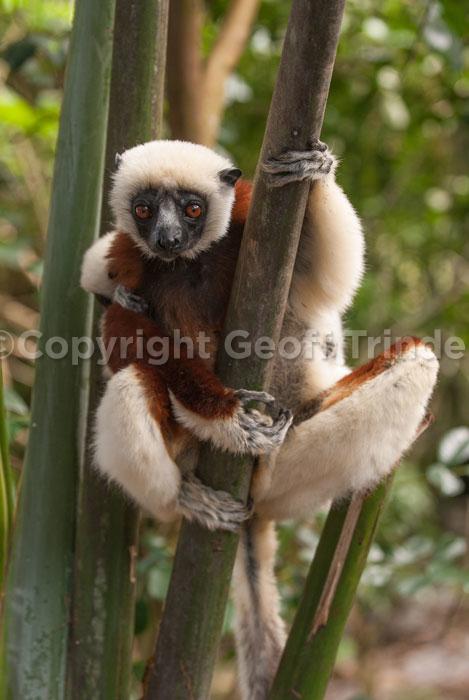 Coquerel's Lemur