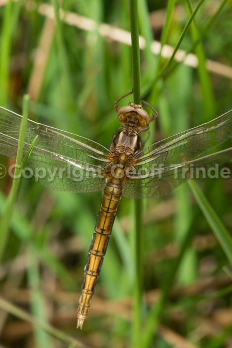 Female Keeled Skimmer