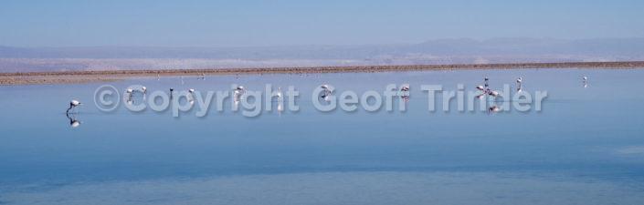 Flamingo (Salt Flats Chile)