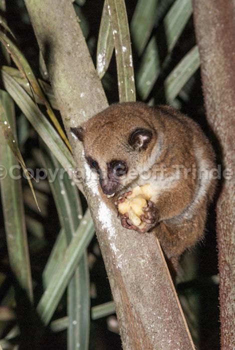 Furry Eared Dwarf Lemur