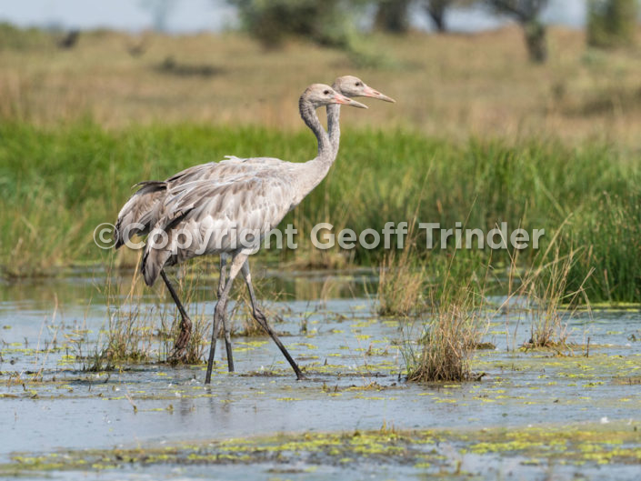 Juvenile Common Crane