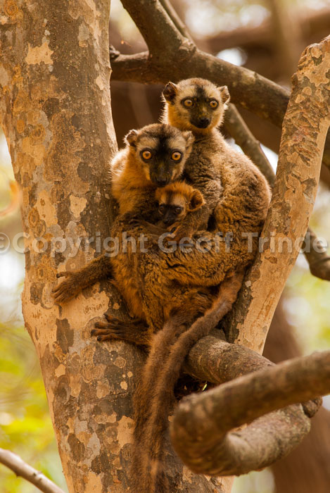 Red Fronted Brown Lemur