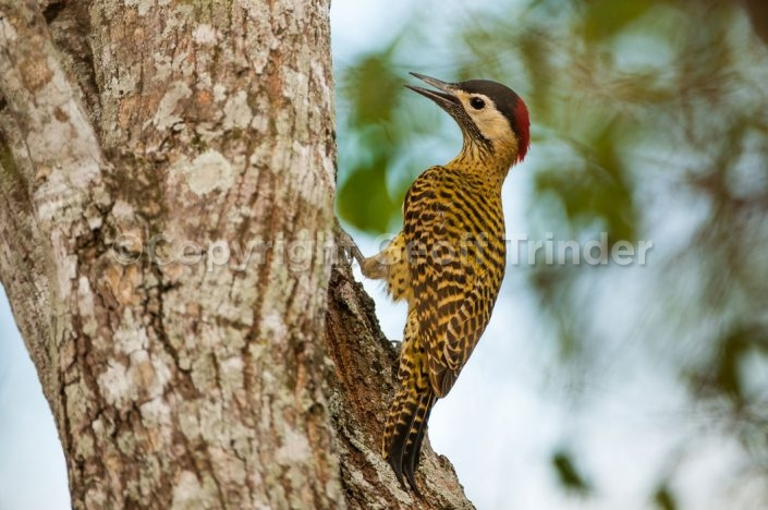 Spot Breasted Woodpecker