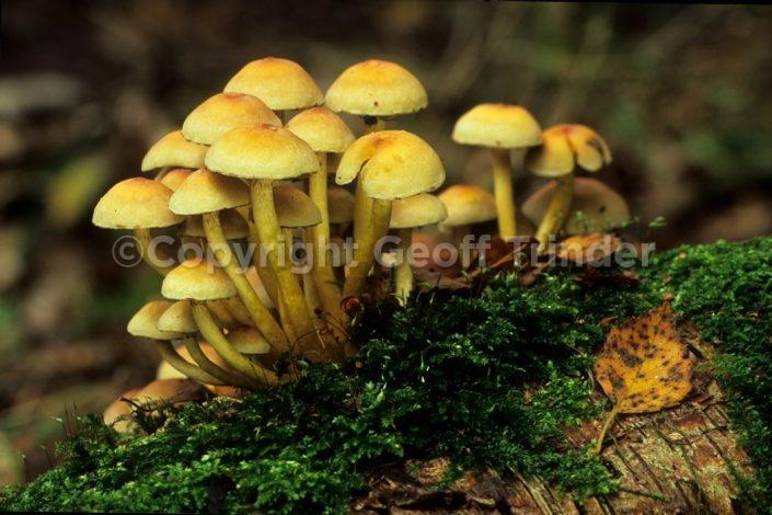 Sulphur Tufts