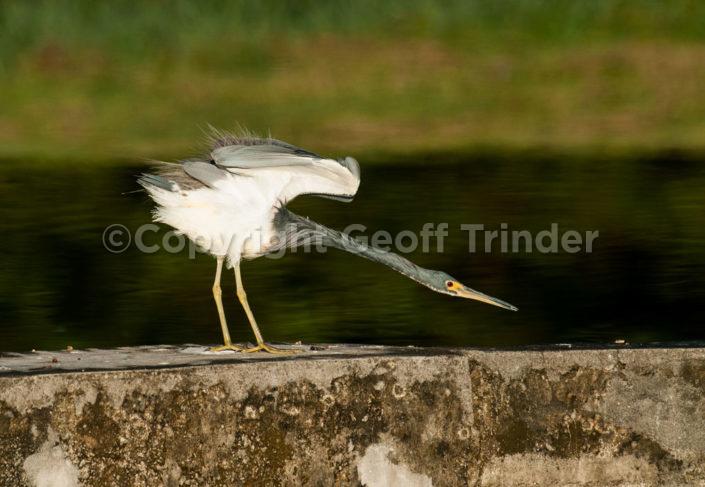 Tricoloured Heron