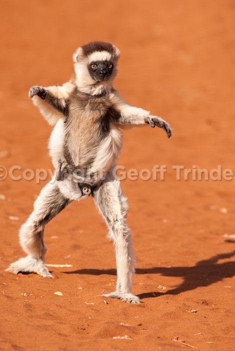 Verreaux's Lemur