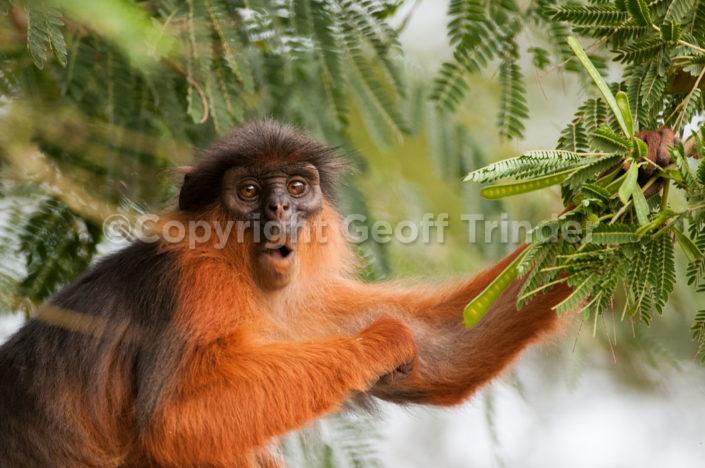 Western Red Colobus Monkey