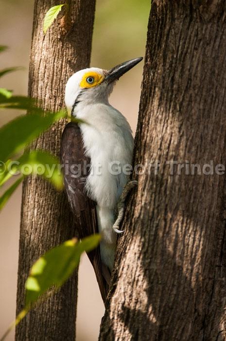 White-Woodpecker