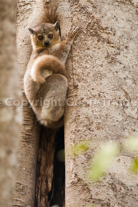 White Footed Supportive Lemur