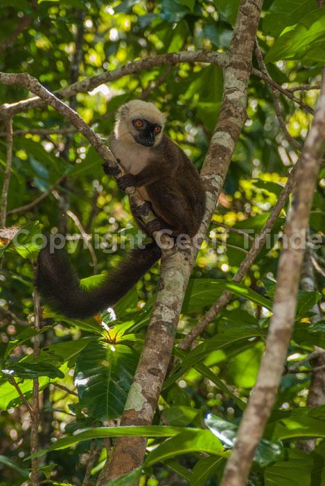 White Fronted Lemur