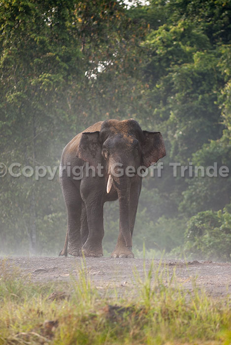 Asian Elephant, Borneo