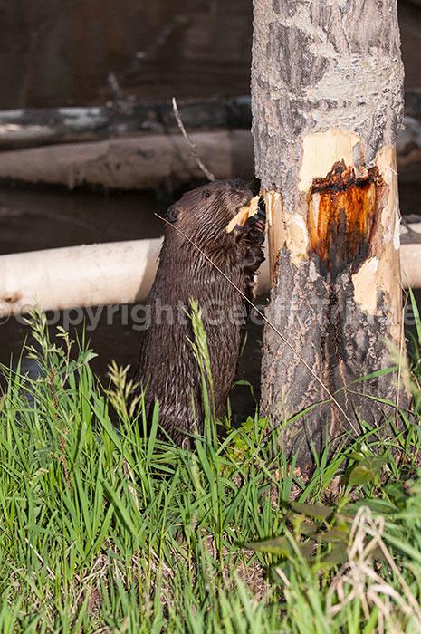 Beaver - USA
