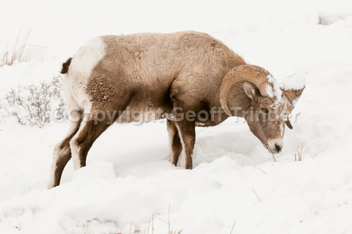 Bighorn Sheep - USA