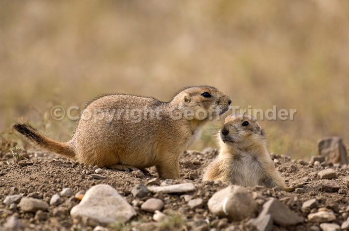 Black-tailed Prairie Dog USA