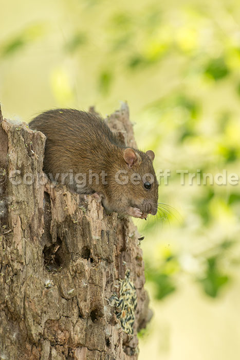 Brown Rat - Europe
