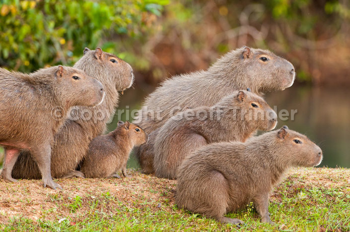 Capybara - Brazil