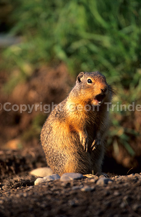 Columbian Ground Squirrel - Canada