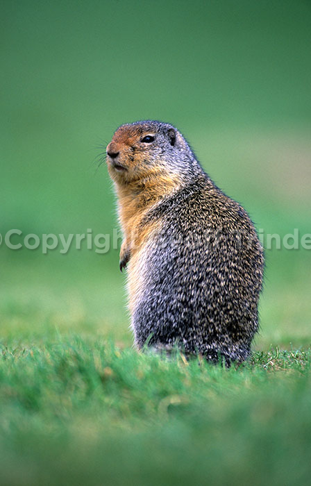 Columbian-Ground-Squirrel.-Canada
