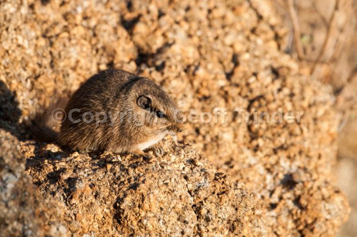 Dassie Rat - Nambia