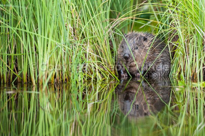 European Beaver - Sweden