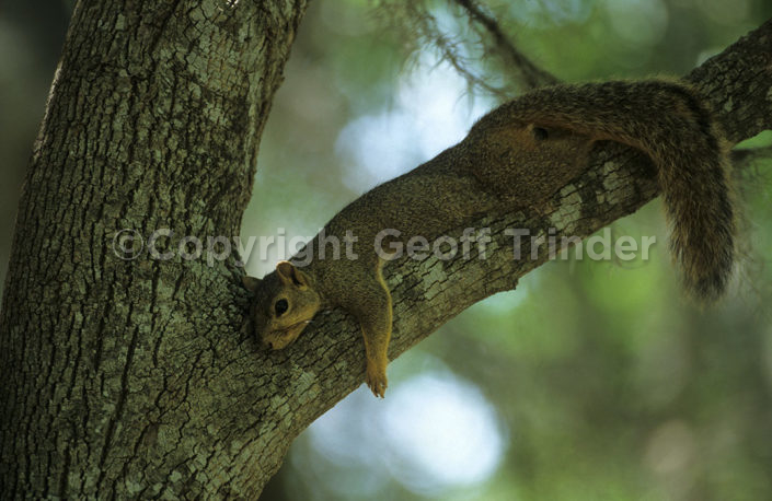 Fox Squirrel- USA