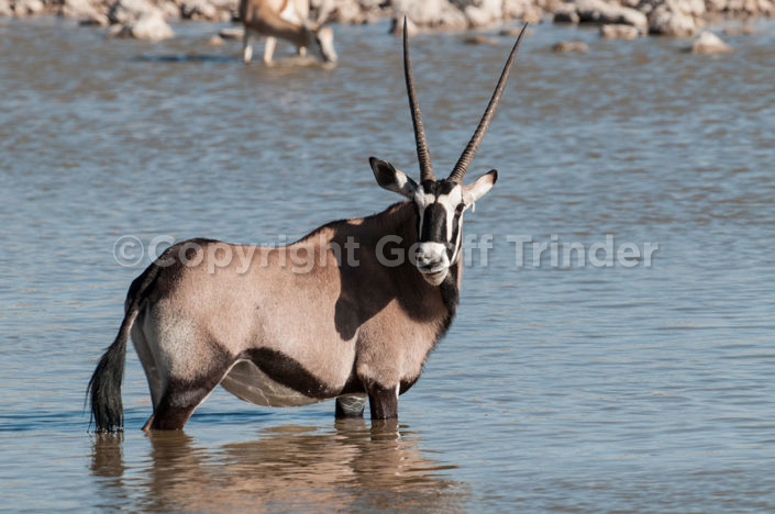 Gemsbok, Nambia