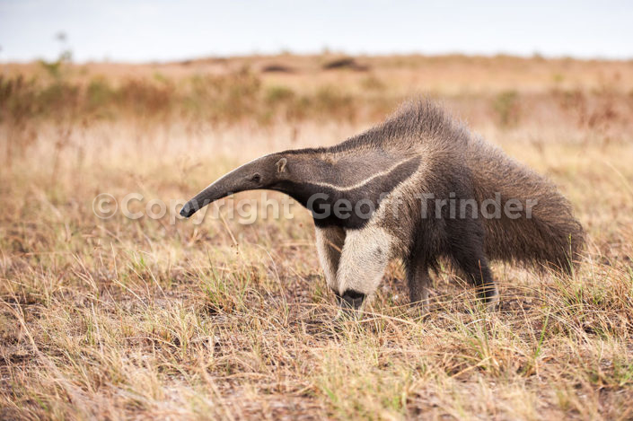 Giant Anteater - South-America