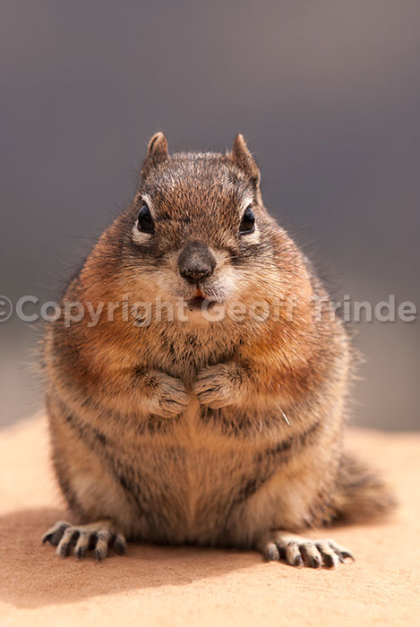 Golden mantled Ground Squirrel - USA