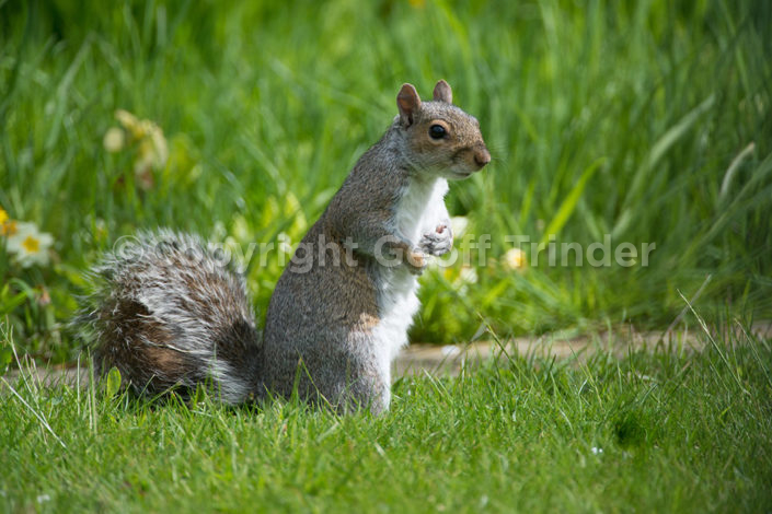 Grey Squirrel - UK