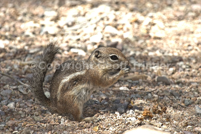 Harris Antelope Squirrel - USA