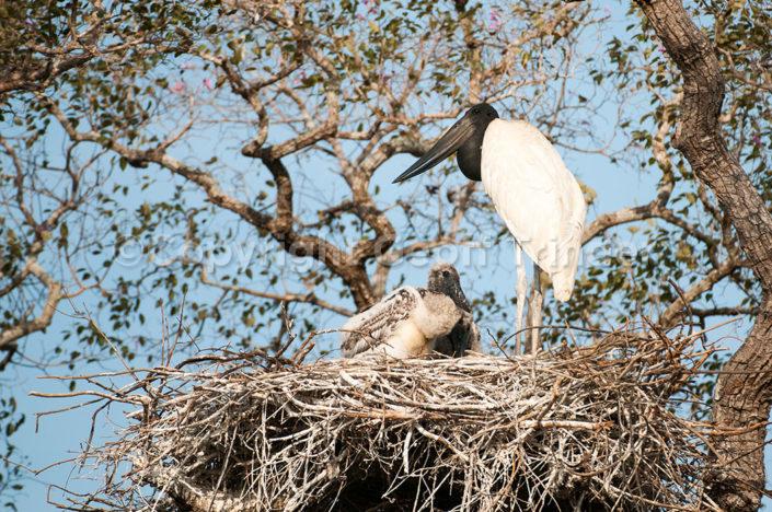 Jaribru at nest