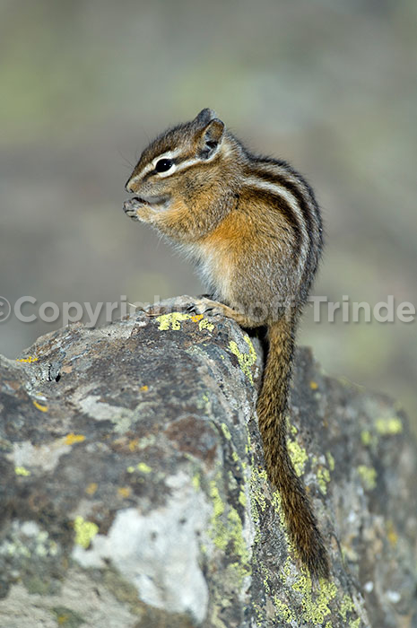 Least Chipmunk - USA