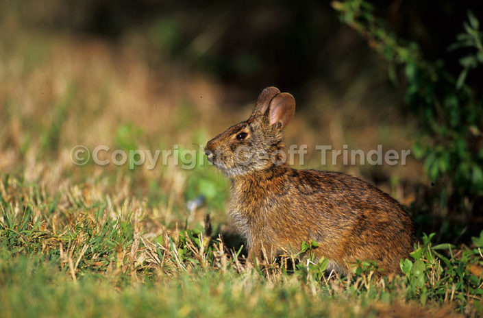 Marsh Rabbit - Florida