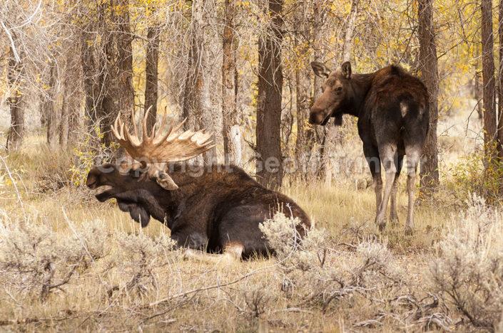 Moose, USA