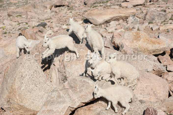 Mountain Goat - USA