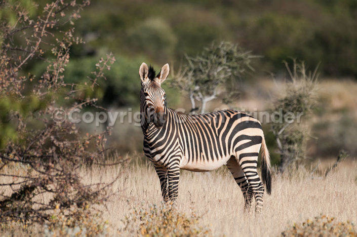 Mountain Zebra. Namibia
