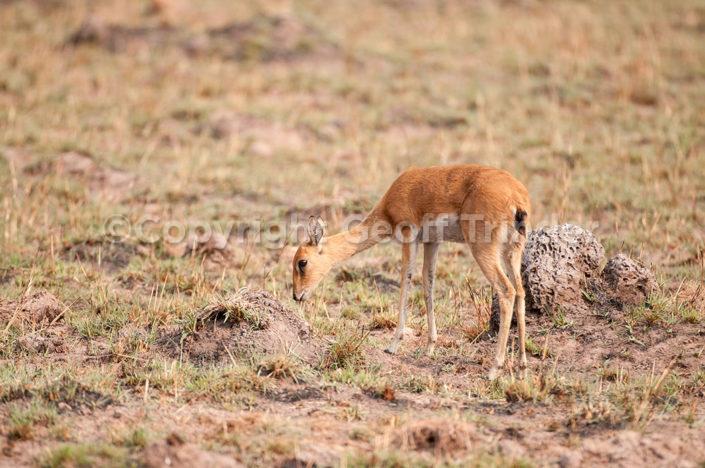Oribi, Zambia