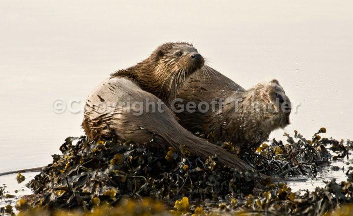Otter - Mull