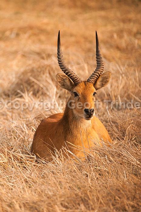 Puku Zambia