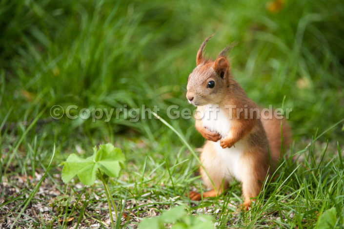 Red Squirrel - Finland