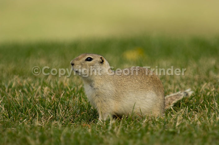 Richardson's Ground Squirrel - USA