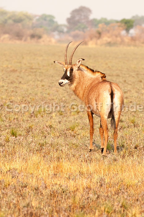 Roan Antelope, Zambia