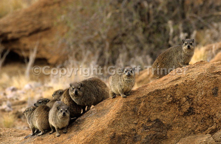 Rock Hyrax - South-Africa