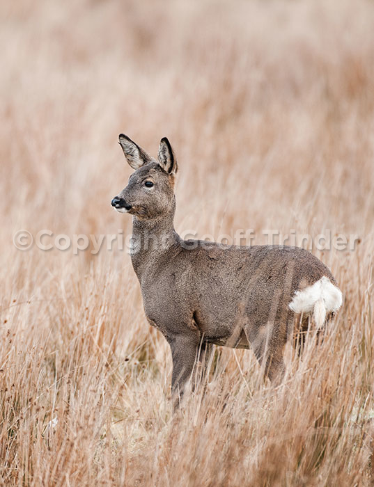 Roe Deer UK