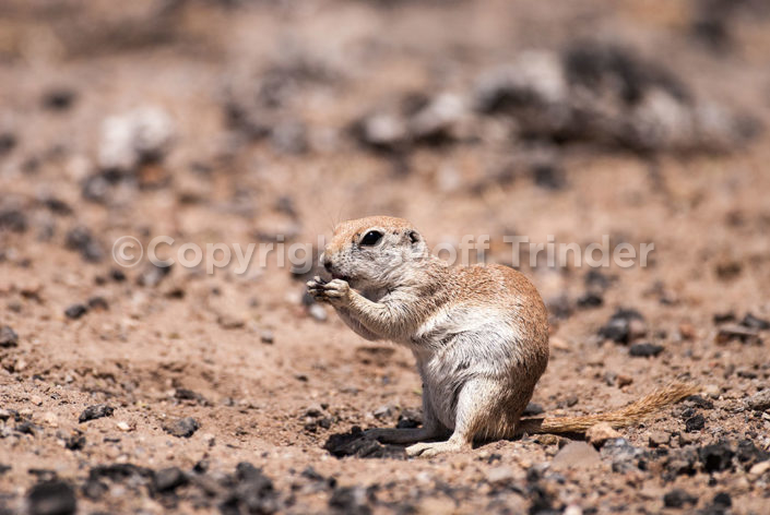 Round tailed Ground Squirrel - USA